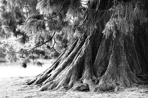 The Old Tree - B&W