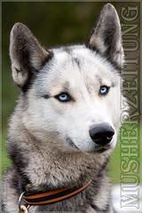 Husky Baxter, der Chef im Kennel