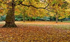 Autumn laid golden underfoot ... (Tobymutz) Tags: autumn london fall leaves bench carpet gold golden hammersmith autumnal ravenscourtpark