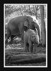 Elephant Love Serie 004 (Mandy van Tilborg) Tags: mandy elephant zoo blijdorp van olifant jong olifanten indische diergaarde aziatische olifantje olifantenjong tilborg