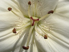 Marilyn Monroe (lake.sider) Tags: white flower macro fleur bravo lily marilynmonroe flor style sugar stamens pistil lírio pollen blume fiore lys lilium stigma filaments giglio lilia asiatic bloem lilje lilien anthers liliaceae stamina liliopsida truelily