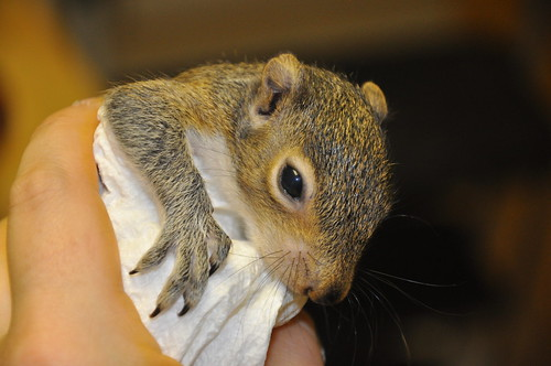 Squirrel at Four Weeks