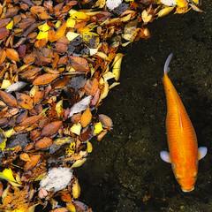 AUTUMN POND (ajpscs) Tags: autumn red orange green leaves yellow japan japanese tokyo maple pond nikon goldfish foliage koi  nippon   tochigi d300  ajpscs nasushiobara  flickraward