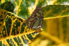 Malachite (Siproeta stelenes biplagiata) (bayucca) Tags: costarica insects lepidoptera papillon atenas borboleta mariposa farfalla schmetterling malachite siproetastelenes neotropical tagfalter insectas malachit siproetastelenesbiplagiata