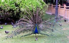 Peacock (@MariaVillalonH) Tags: park parque bird feathers peacock asturias ave oviedo 2009 pavoreal plumas picosdeeuropa