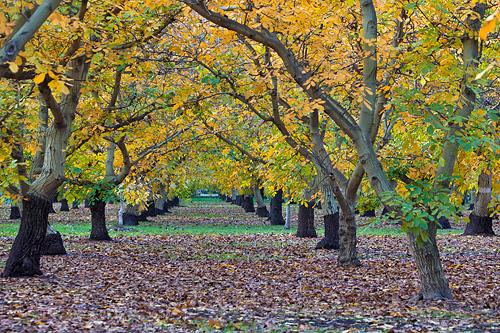 Walnut Orchard in Fall