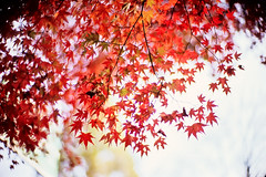 bursting into flames (moaan) Tags: life leica autumn red color 50mm glow dof bokeh f10 momiji japanesemaple kobe utata rokko glowing noctilux blaze hue 2009 tinted mapleleaves leicam7 m7 fujivelvia100 tinged rvp100 inlife leicanoctilux50mmf10 gettyimagesjapanq1 gettyimagesjapanq2