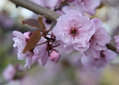 plum blossoms (terrillwelch) Tags: pink plumblossoms