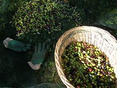 20091204 - Friday Olive Tree Blogging