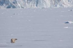 Polar bear, Spitsbergen (f1nutter) Tags: bear norway polarbear polar artic spitsbergen ursus spitzbergen ursusmaritimus maritimus