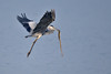 ADS_000006671 (dickysingh) Tags: india bird heron kill outdoor flight aditya ranthambore singh greyheron ranthambhore predation dicky checkeredkeelback adityasingh ranthamborebagh theranthambhorebagh wwwranthambhorecom