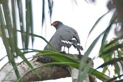 Leucopternis schistaceus - Slate-coloured Hawk (arthurgrosset) Tags: fbwnewbird fbwadded slatecoloredhawk leucopternisschistaceus leucopternis slatecolouredhawk buteogallusschistaceus