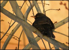 Common Blackbird - male (J. M. R.) Tags: winter brown snow bird nature birds animal animals female blackbird blackbirds turdus merula commonblackbird europeanblackbird