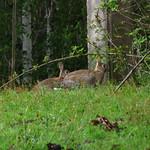 Conejos Silvestres thumbnail