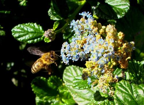 Bee and Ceanothus