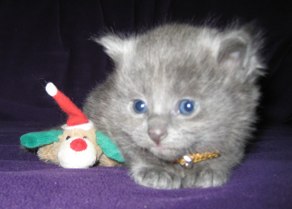 Duszka kittens from december 2009 4280928171_bcdae22df1_b