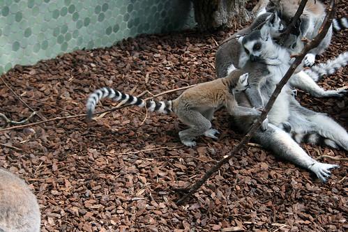 Lemurenjunges