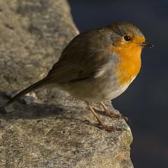 Rødstrupe - Erithacus rubecula - Robin - D8E_9075 (Viggo Johansen) Tags: erithacusrubecula rødstrupe robin birds
