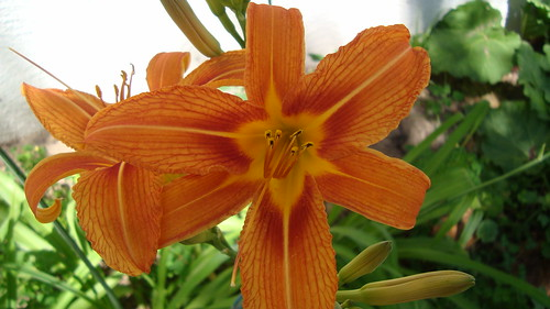 Daylily in bloom