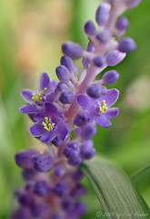 Liriope (Paul Hueber) Tags: plant flower macro nature canon purple florida handheld seminolecounty altamontesprings centralflorida sortof liriope musicarver