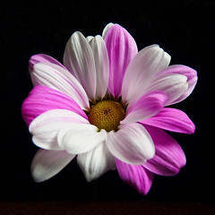 Pink and white (annkelliott) Tags: pink flowers white canada flower calgary nature beautiful beauty blackbackground digital garden square lumix petals flora image nopeople explore photograph alberta daisy pointandshoot colourful squarecrop flowerhead onblack singleflower colorimage beautyinnature supershot interestingness19 i500 beautifulexpression annkelliott fz28 panasonicdmcfz28 p1170546fz28 explore2009august25