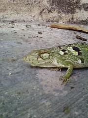 Falso camaleón 3