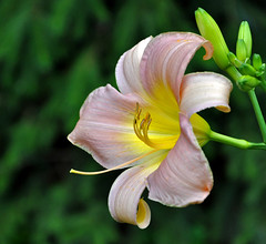 lovely day lily [explore FP ... TY!] (Wils 888) Tags: summer flower macro closeup lens interestingness nikon day lily blossom explore nikkor tgif fp frontpage d90 18105mm nikond90