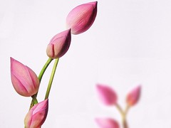 Lotus buds (with bokeh)