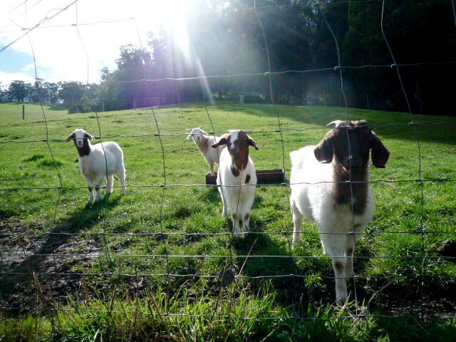 Gippsland goats