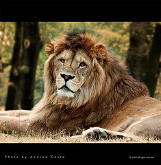 the Lion - Andrea Costa Creative