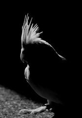 koko (PhotoGrapherQ80 KWS) Tags: birds albino cockatiel kuwait adel abdeen