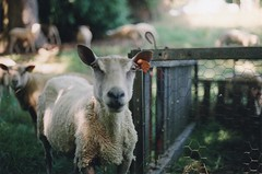 Sheeps (Ludovic Macioszczyk Photography) Tags: sheeps sun summer plant light animal canon ae1 135 fuji 1600 iso france ludovic macioszczyk analog photography film pellicule no flash fd 50mm 18 vintage camera photo photographie argentique keep alive ludos photographs dof 2009 35mm natural spring life shoot art people limousin 87 holidays holiday house vacances châteauneuflaforêt colors color portrait coutryside sunny bokeh picture world photographe m exposure négatif développement scan 1 2 3 4 5 6 7 8 9 appareil © tag