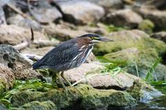 Green Heron (JayMilesPhotography) Tags: park wild green bird heron hamilton lasalle wildlfe