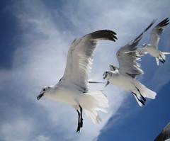 Seagulls in Flight 9 (wvh1) Tags: seagulls bluesky birdsinflight birdinflight