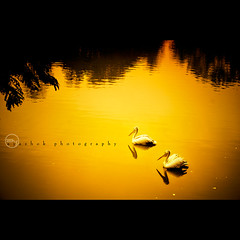 TWO (ayashok photography) Tags: two india white lake bird water golden nikon pelican explore frontpage lalbagh warmtones thepca nikonstunninggallery nikkor55200mm nikond40 ayashok pcacouple pcagoldenlight
