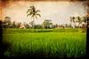 like a dream (ion-bogdan dumitrescu) Tags: bali indonesia fields ricefield bitzi summer09 ibdp mg8457 findgetty ibdpro wwwibdpro ionbogdandumitrescuphotography