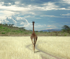 Until I get There (Ben Heine) Tags: voyage africa road travel trees wild wallpaper art nature weather clouds composition forest print poster relax landscape vanishingpoint scenery poem kenya path walk horizon hill meadow peaceful kingdom nikond70s follow safari longneck valley monsoon photomontage environment giraffe savannah tomorrow nuages copyrights paysage dieren depth impression mothernature chemin colline symbolism ecosystem girafe discover bigfive wildanimals horizons sauvage giraf marcher compositephoto suivre troupeau animauxsauvages mywinners benheine theunforgettablepictures longcou hubertlebizay obramaestra infotheartisterycom