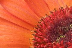 Gerbera Study Continues (Cory Dalva) Tags: red orange flower macro nature yellow nikon gerbera daisy 105mm d90 sb900