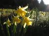 Gelbe Narzissen (Narcissus pseudonarcissus), Holzwarchetal bei Mürringen, Ostbelgien (Frank.Vassen) Tags: daffodil narcisse narcissus narzisse osterglocke narcissuspseudonarcissus gelbenarzisse narcyz rocherath ostbelgien wilddaffodil narcissejaune natagora mürringen narzissenwiese narcissetrompette holzwarche enkelberg narcyztrąbkowy holzwarchetal