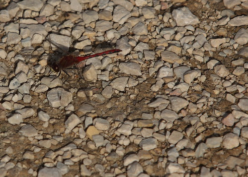 Dragonfly on a gravel path