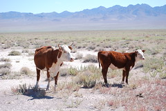 Open Range Cattle (NCReedplayer) Tags: cow highway cattle nevada bull nv hereford calf extraterrestrial openrange area51 extraterrestrialhighway