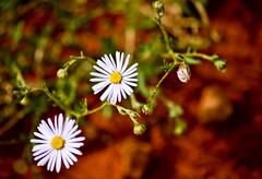 Wild Flowers, Desert Park, Australia