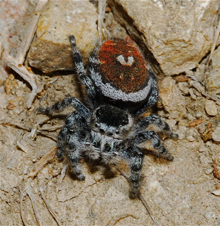 Johnson jumping spider