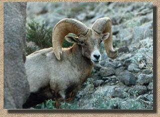 peninsular bighorn