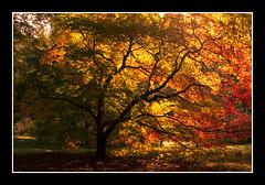 Acer (BaldyD) Tags: uk autumn light england tree fall nature yellow season golden britain cotswolds trunk westonbirtarboretum davefletcher baldyd
