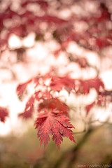 (Wave / Particle / Pixel) Tags: autumn trees red holland fall netherlands dutch leaves geotagged leaf bomen colorful dof bokeh herfst nederland arboretum wageningen botanicalgarden landschap belmonte wur nld botanischetuin wageningenuniversity provinciegelderland geo:lat=5196626938 geo:lon=569070339