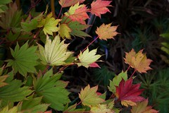 Range of autumn colour in Golden Full Moon Maple ( Acer Shirasawanaum