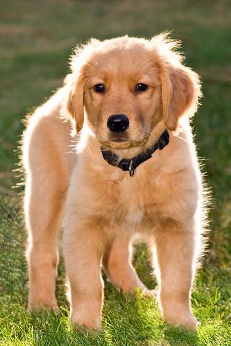 cute golden retriever puppies pictures. Lucy Golden Retriever Puppy