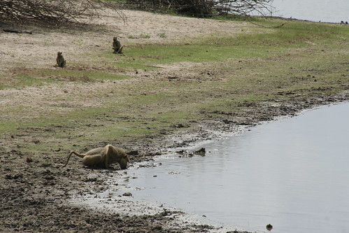 Yellow Baboon drinking from the lake - Selous Game Reserve, Tanzania