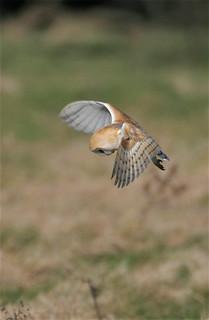 Barn Owl - mg_7429
